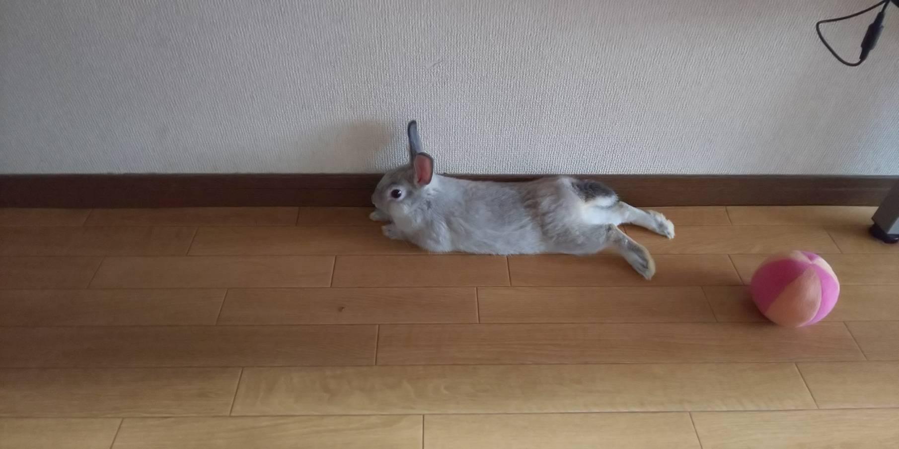 【ミニウサギ】 ウサギのこんな表情