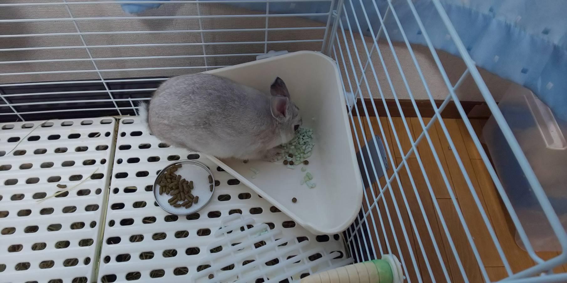 【ミニウサギ】うちのミニウサギ朝からトイレの中で何をやっているんだか・・・・