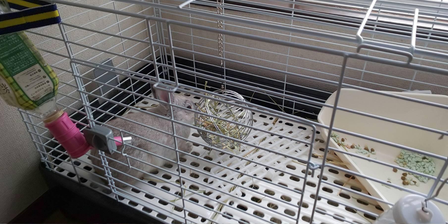 【ミニウサギ】チモシーをちゃんと食べれるようになった!
