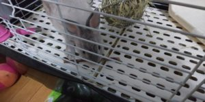 【ミニウサギ】齧り木買ってきた(違うバージョン)