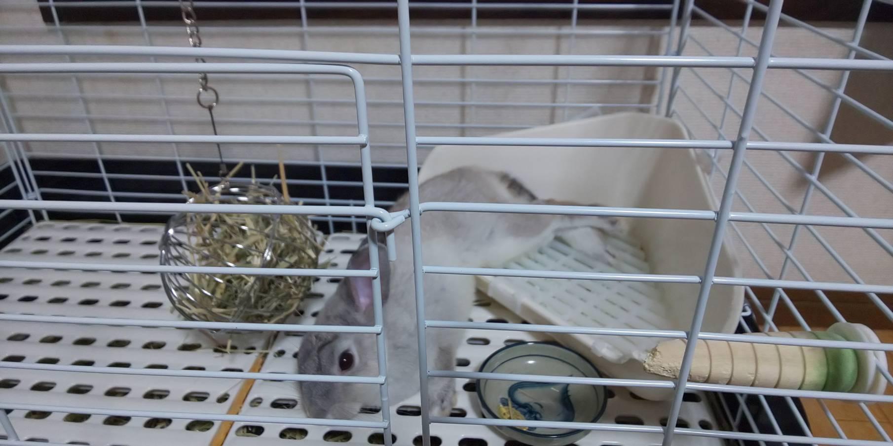 【ミニウサギ】うちのウサギは、寝相が悪いけど許してね。