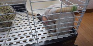 【ミニウサギ】息爽やかになったと思ったら、食糞!歯磨き後のチョコはダメだよ