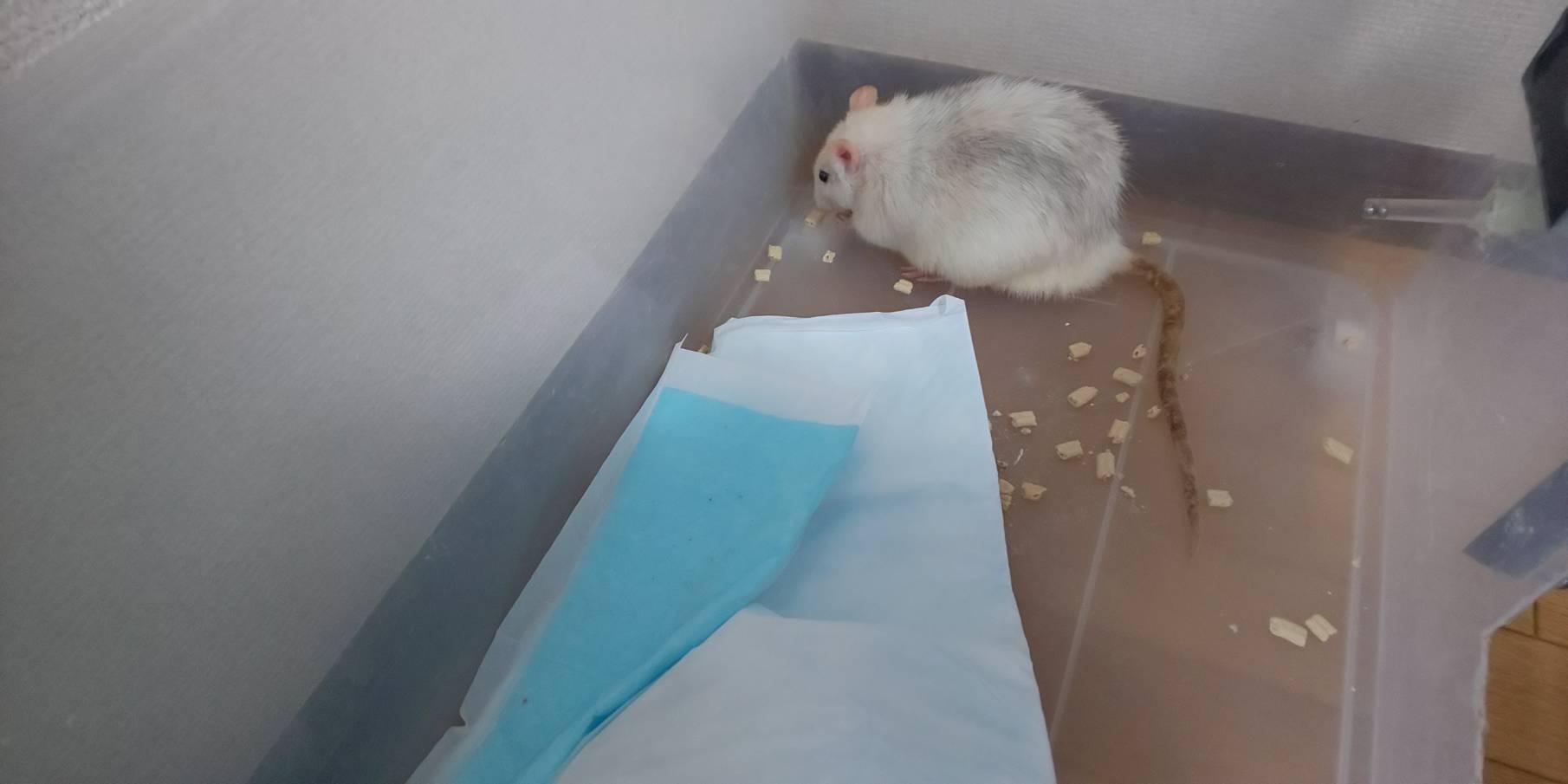 【ファンシーラット】ケース掃除のたびに・・おからの砂たべるんですが美味しいの?