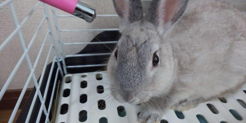【ミニウサギ】ウサギってポーカーフェイスなの?顔の体毛で表情がわからない。