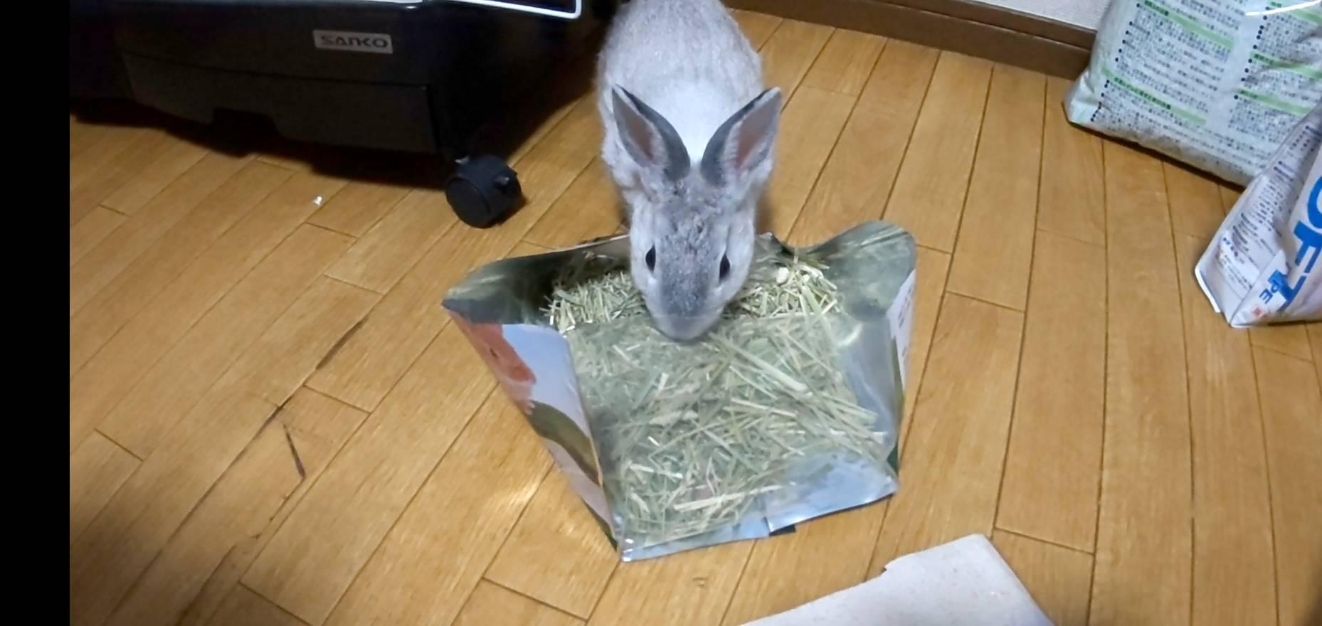 【ミニウサギ】余ったチモシーをウサギにあげてみた。