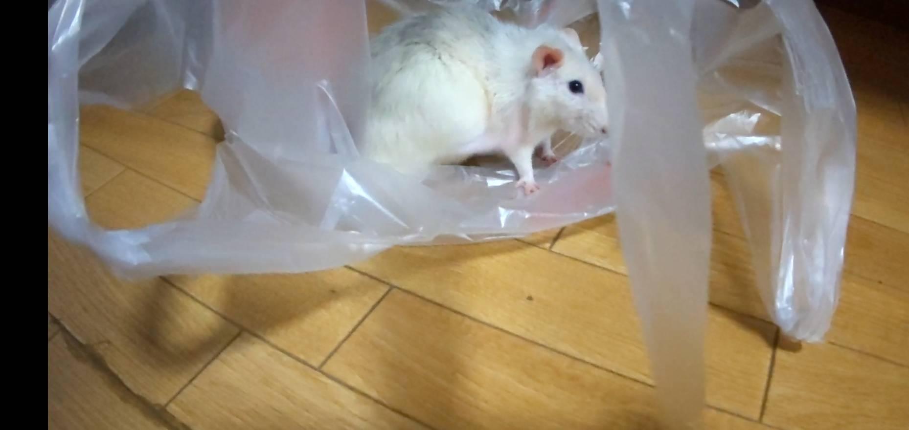 【ファンシーラット】ビニール袋って気持ちいの?