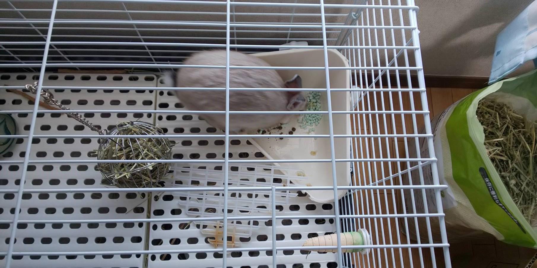 【ミニウサギ】今日のウンコ・・・いや今日のウサギはウンコ(えw