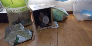 【ミニウサギ】ダンボール箱で遊ぶウサギ!!