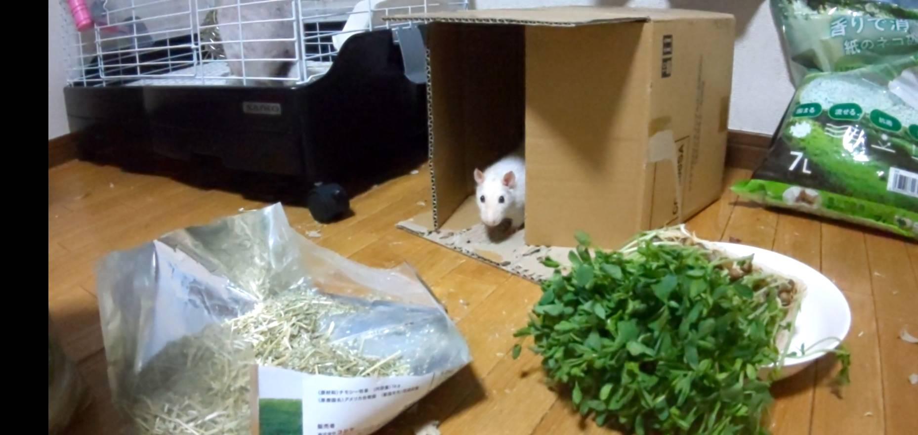 ファンシーラット ダンボールの中で豆食べる!