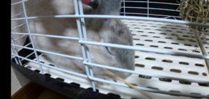 【ミニウサギ】 チモシーでこちょこちょ・・・ 鼻はOkでもヒゲはちょっと・・・・