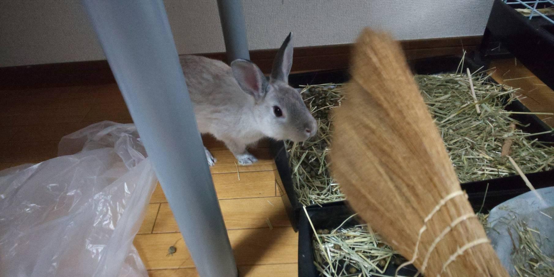 【ミニウサギ】 チモシーのロングと切ったタイプ