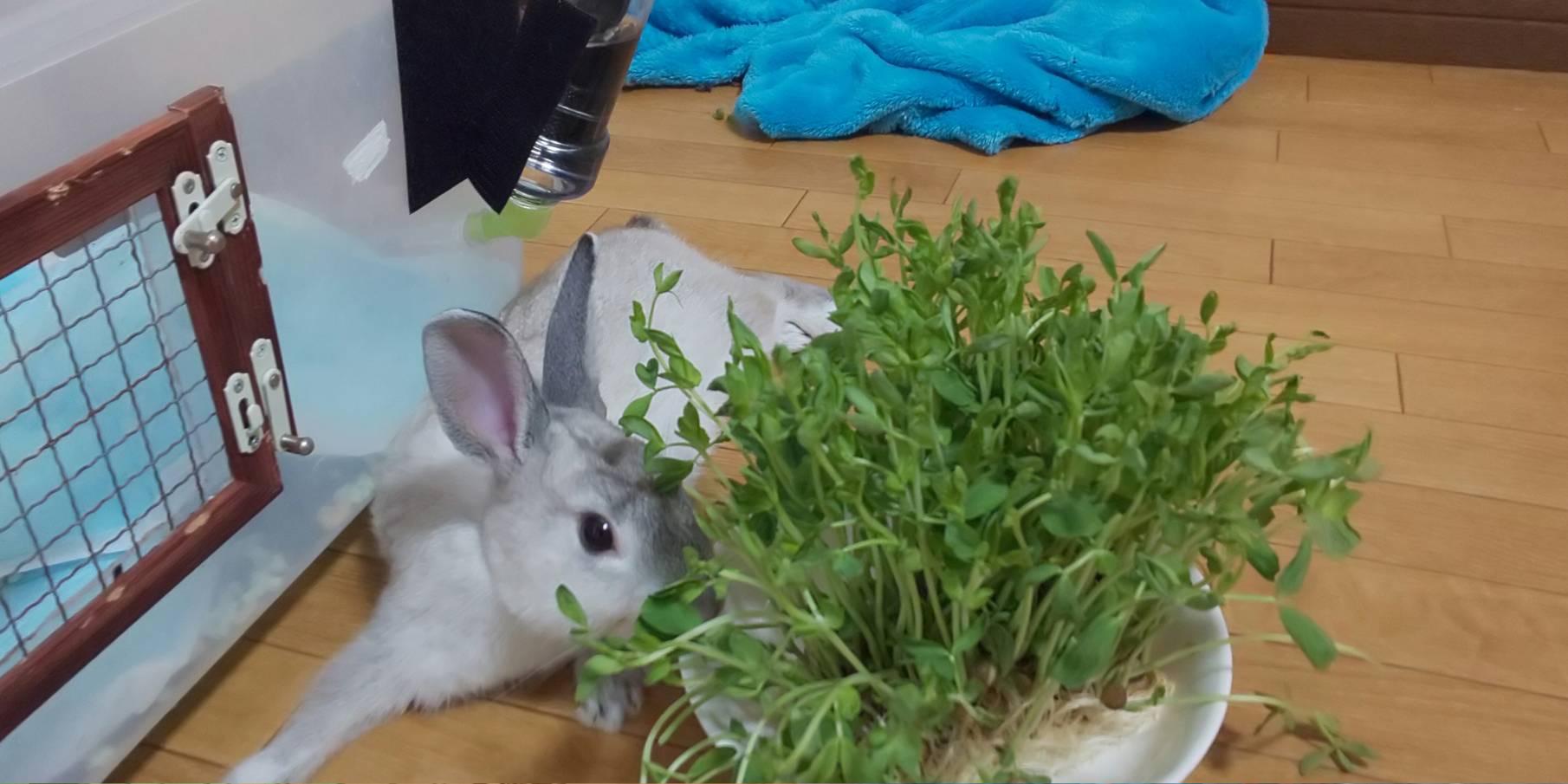 【ミニウサギ】 10月15日 朝から元気すぎるウサギ。