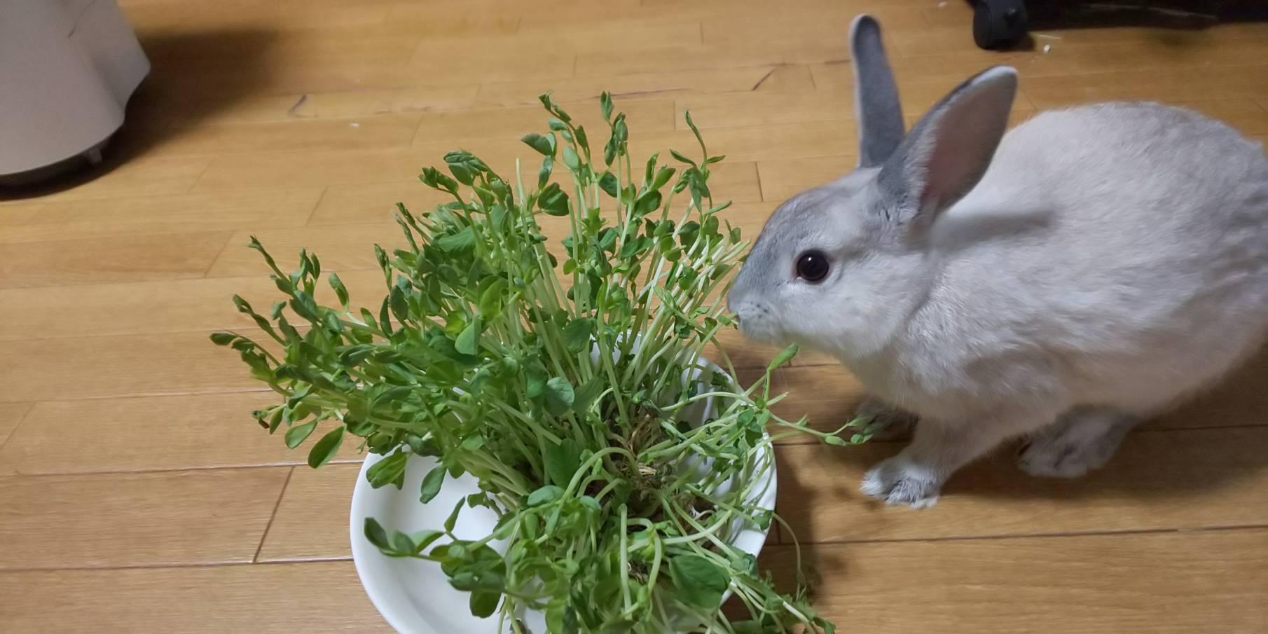 ウサギとラットと豆苗日記! 4日目