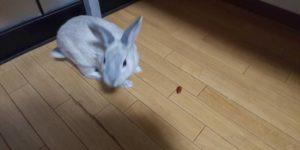 【ミニウサギ】 ウサギとドングリ