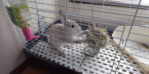 【ミニウサギ】  スタンディングうさぎ!