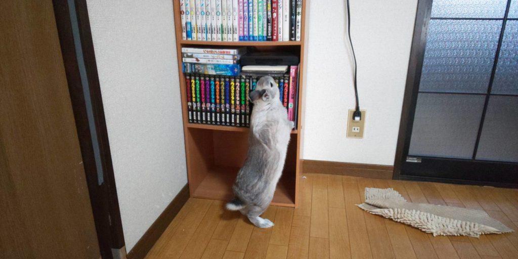【ミニウサギ】 最近体長が伸びてきたのか背伸びし始めました。