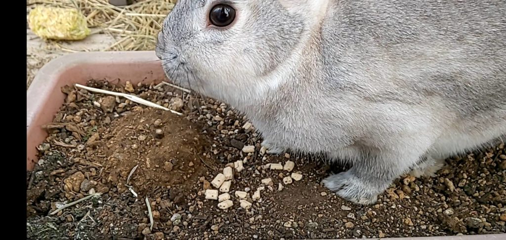 【ミニウサギ】気温が高いのでちょっと外に出してみた!