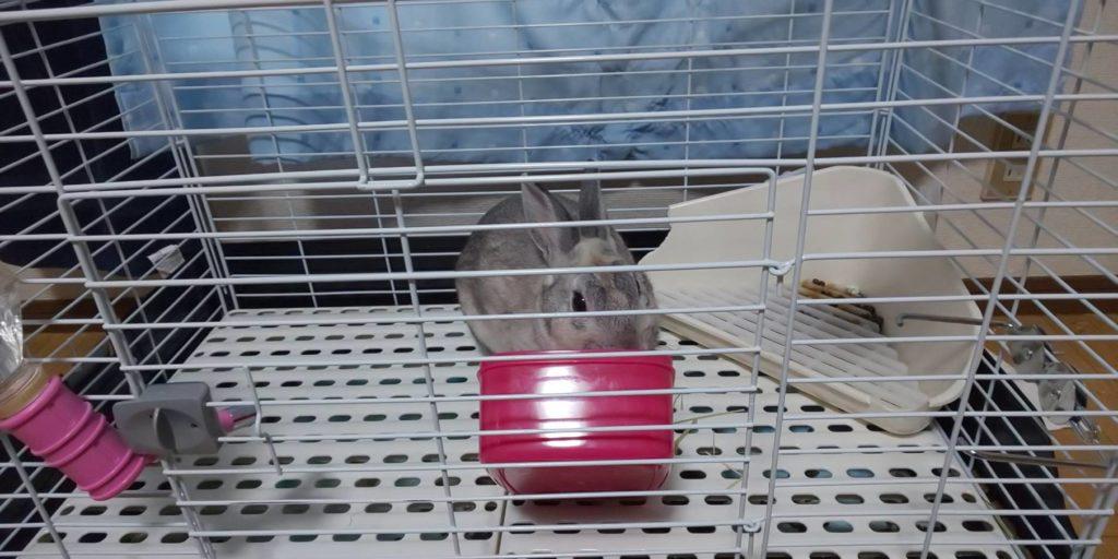 【ミニウサギ】うちのウサギもしかしたら天才なのかもしれない!