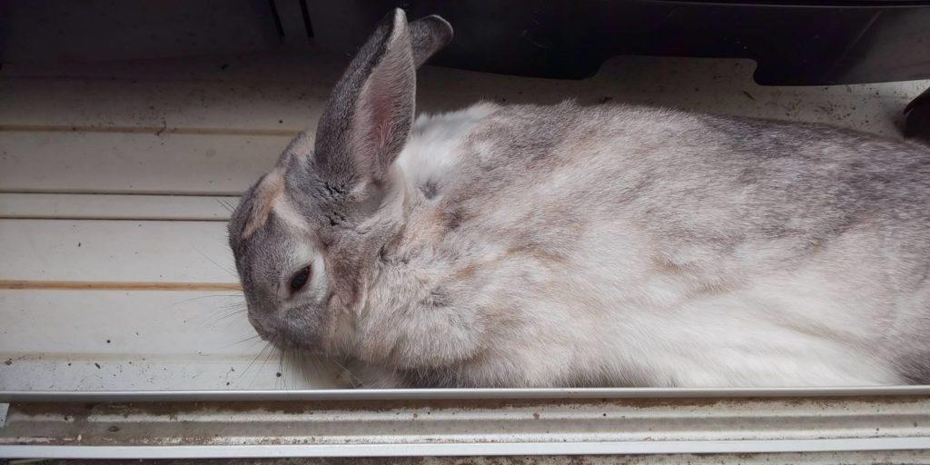 【ミニウサギ】遊び疲れたのかな?9時間もベランダに!