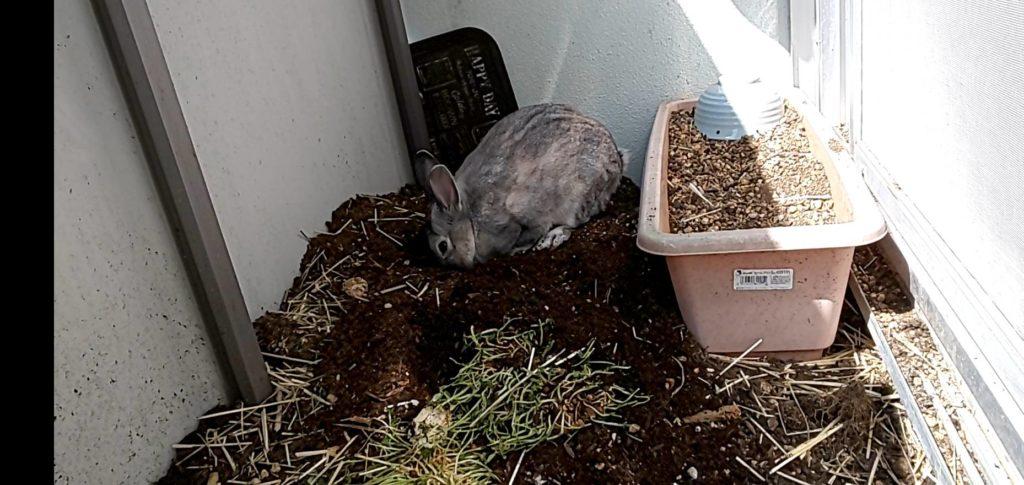 【ミニウサギ】ベランダ散歩で、ウサギの本能発揮!!