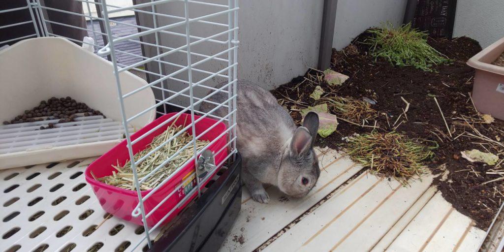 【ミニウサギ】久しぶりの暖かい気温 久しぶりのベランダ散歩