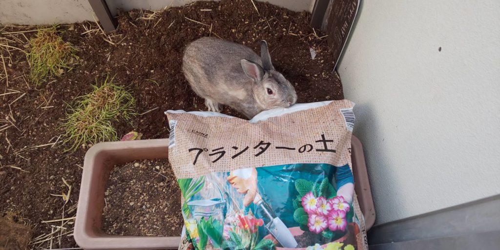 【ミニウサギ】ベランダに土を追加してみた♪穴掘るかな?