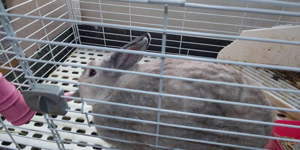 【ミニウサギ】少し濡らしてブラッシングしてみたら、ビックリ!