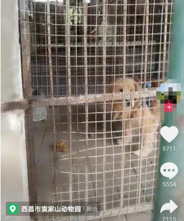 中国の動物園、ゴールデンレトリバーがライオンとして展示されて話題